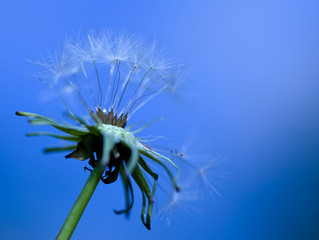 art photo of dandelion close-up on blue background