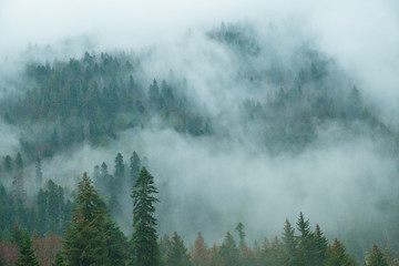 coniferous forest on mountain slopes in fog, trees in haze in early spring