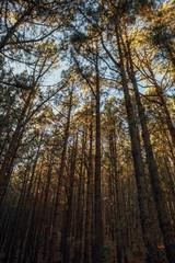 pine trees in forest La Esperanza