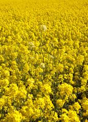 rape with yellow flowers