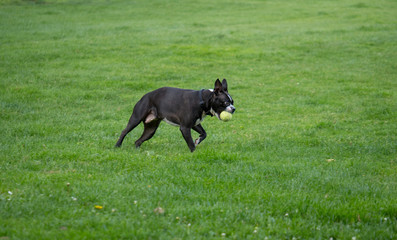 Boston terrier sprinting with ball in mouth. Playing fetch.