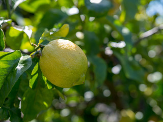 Ripe lemon hanging off of tree ready for harvest