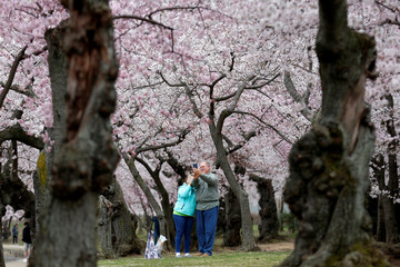 A couple photographs themselves under blooming cherry trees in Washington