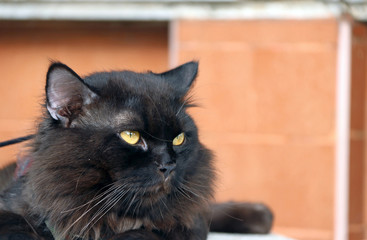 Black cat laying down with brown wall. cat is a small domesticated carnivorous mammal with soft fur, a short snout, and retractile claws.