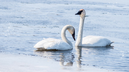 Swan couple are swimming at icy lake in early spring of Minnesota
