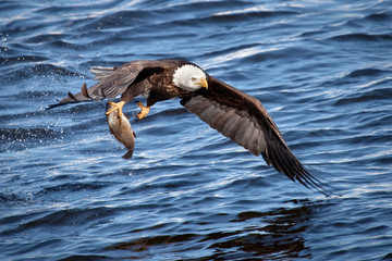 Photo sur Plexiglas Aigle Bald eagle snatching a fish from water
