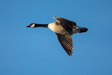 Close view of a Canada goose, seen flying in beautiful light over a North California marsh