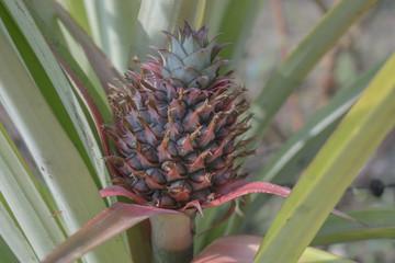 Pineapple on the tree