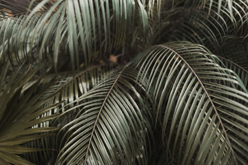 Wall Mural - close up dark brown Tropical big palm leaves in exotic country. concept of foreign background, summer plants or nature and travel