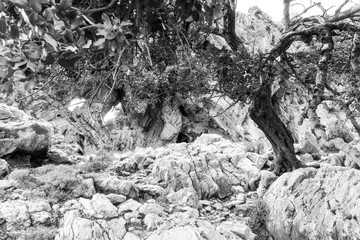 Withered tree and rocks