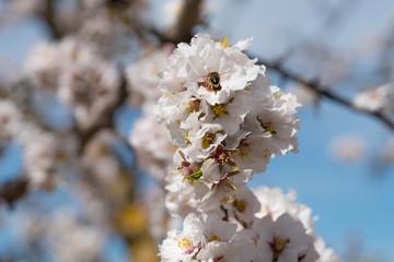 Flores de almedro con abeja polenización