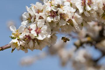 Abeja volando hacia flor de almendro