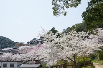 金刀比羅宮の桜 (香川県琴平町)