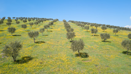 The olive grove in Istria