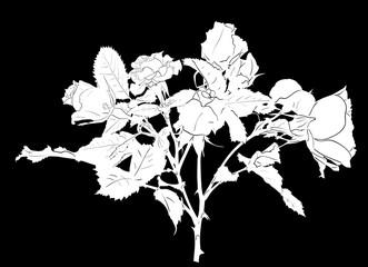 white rose flower sketch isolated on black