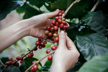 Close up hand keep coffee beans for harvesting on coffee tree, Fresh organic red coffee
