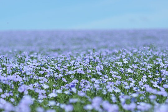 Flax field blooming, flax agricultural cultivation.