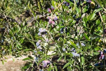 Black olives tree