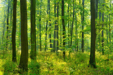 Papiers peints Forets Sunny natural forest of oak trees