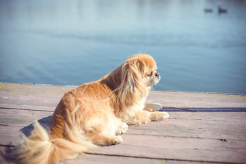 Pekingese breed, dog at walk. Life of pet go outside, sunny outside. Best friend ever