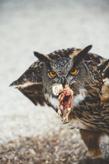 Owl sitting with killed mouse