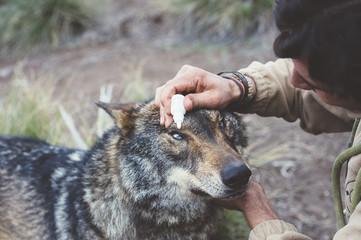 Man taking care of wolf eyes