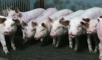 Pigs in stable. Farming
