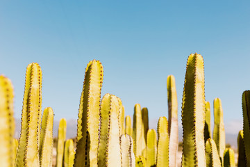Cactus on sunset with clear blue sky on background