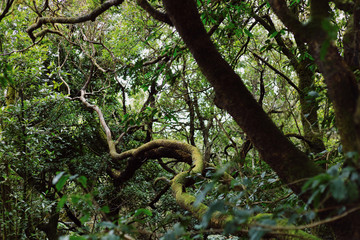 Mystical forest. Anaga. Tenerife