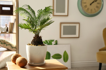 Tropical plant with green leaves and ripe coconuts on table in room