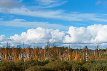 white birch trunks on wetland, Sunny autumn day in the swamp, blue sky, white clouds