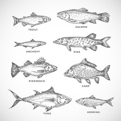 Hand Drawn Ocean or Sea and River Fish Set. A Collection of Salmon and Tuna or Pike and Anchovy, Herring, Trout, Carp Sketches Silhouettes. Engraving Style Drawings.