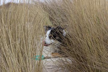 Hund im Dünengras