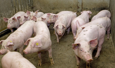 Pigs in stable