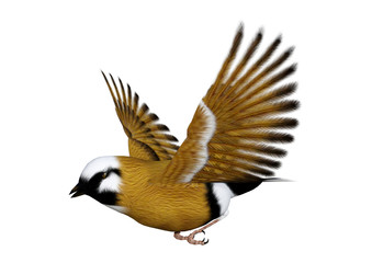 3D Rendering Parson Finch Bird on White