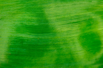 green background texture of a green leaf from a tulip