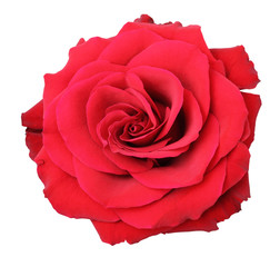 Wonderful red rose (Rosaceae) isolated on white background, including clipping path.