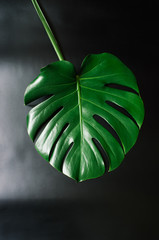 Green monstera tropical leaf on black background flat lay.