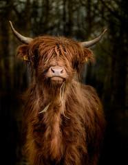 Canvas Prints Highland Cow Schottisches Hochlandrind im Wald