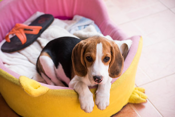 Close up of cute young Beagle playing in garden