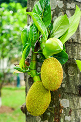 Jackfruit tree and fruits