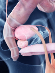 3d rendered medically accurate illustration of the human bladder and prostate anatomy