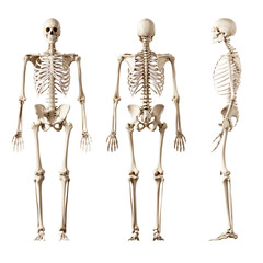 3d rendered medically accurate illustration of the human skeleton