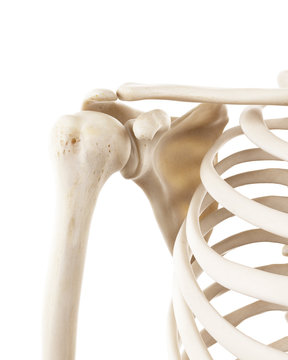 3d rendered medically accurate illustration of the human shoulder bones