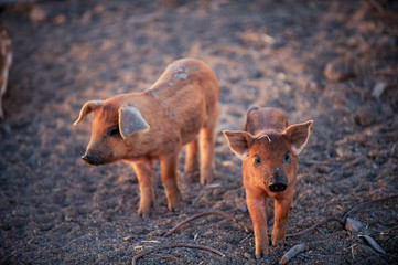 Red piglets of the Hungarian Mangalci breed are not afraid of the cold. From the bad weather piglets are protected by thick and warm fur. For small farms.