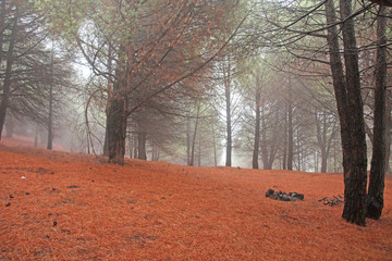 Magical and Fairy Cedar Forest with Thick Fog at the Foot of Mount Etna with a Cover of Red and Terracotta Needles. The island of Sicily, Italy