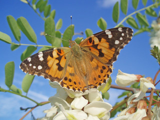 Beautiful orange butterfly sits on the flowers of a white acacia, against a blue sky, in the spring