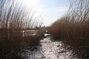 water by waves have been frozen on reed along river Hollandse IJssel in the Netherlands at Nieuwerkerk aan den IJssel