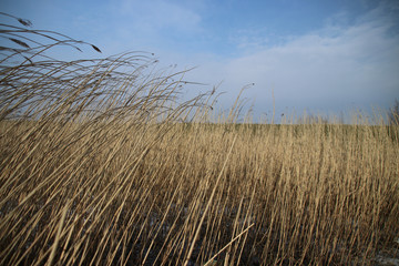Reed is bowing by the wind at the River Hollandse IJssel at nieuwerkerk aan den IJssel in the winter