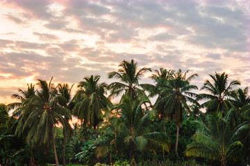 Palm grove at sunset.